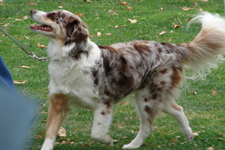 A well-trained dog demonstrating Loose Leash Walking
